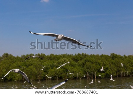 Slender-billed Gull flying in the blue sky