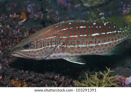 Slender grouper in the coral reef - stock photo