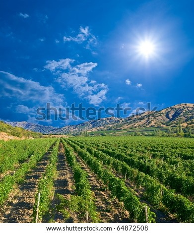 slender rows of vine by a sunny day - stock photo