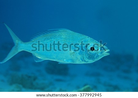 Slender silver-biddy fish (Gerres oblongus) in shallow waters of the indian ocean  - stock photo
