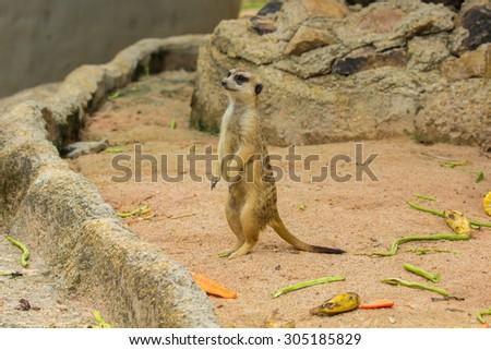 Slender-Tailed Meerkats (Suricata suricatta) in zoo. - stock photo