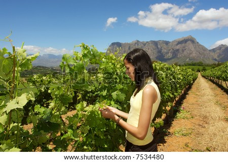 Slim mulatto girl inspects grape vine in farm among awesome mountains. Shot near Stellenbosch, Western Cape, South Africa. - stock photo