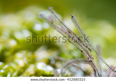 Slime mold (Stemonitis typhina) on dead wood of beech - stock photo