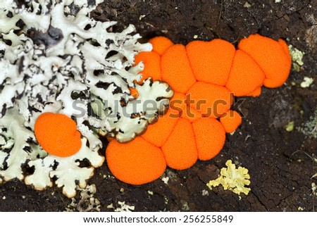Slime mould on wood - stock photo
