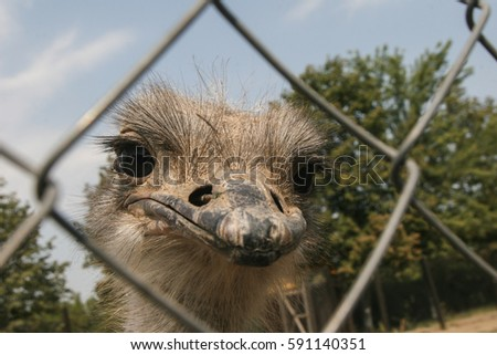 Slobozia, Romania, August 30, 2009: An ostrich is seen through a fence in the thematic park of Hermes Farm in Slobozia.