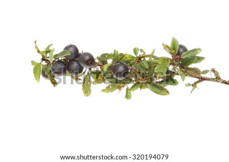 Sloe berries, Prunus spinosa or Blackthorn, on a branch isolated against white - stock photo