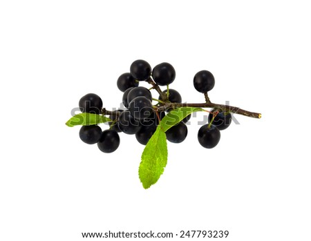 Sloe branch - stock photo