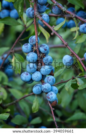 Sloe bush with many fruits - stock photo