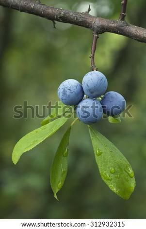 Sloe Fruit at Blackthorn Tree - stock photo