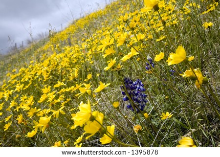 Slope of the hill covered with yellow spring flowers. - stock photo