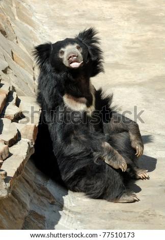 Sloth bear - stock photo