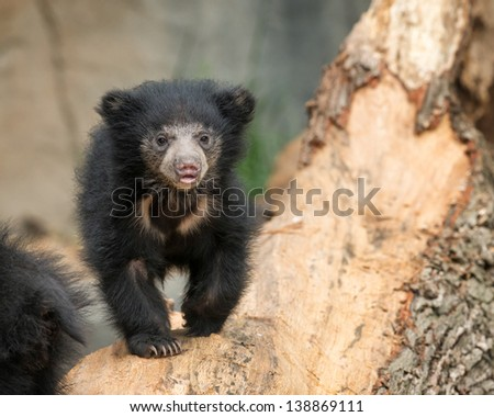 Sloth bear cub (Melursus ursinus) is a nocturnal insectivorous species of bear found wild within the Indian subcontinent - stock photo