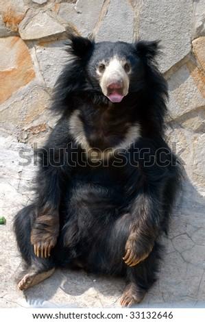 Sloth Bear (Melursus ursinus) - stock photo