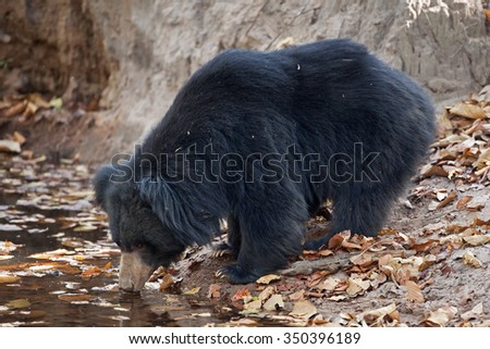Sloth bear, Melursus ursinus, Stickney bear, labiated bear - stock photo
