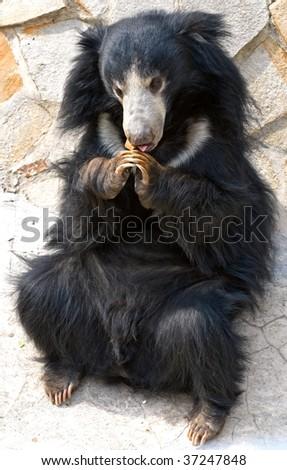 Sloth Bear (Melursus ursinus) with cookie - stock photo