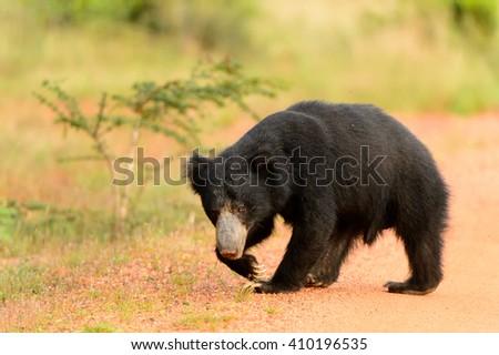 Sloth Bear  (Melurus ursinus) - Walk the walk! - stock photo
