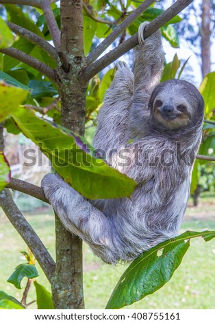 Sloth climbing a tree in costa rica rainforest  - stock photo