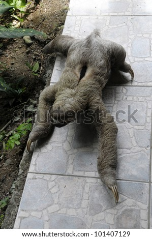 Sloth Costa Rica - stock photo
