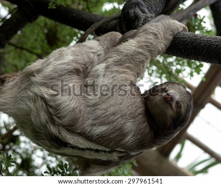 Sloth hanging from branches in a zoo.