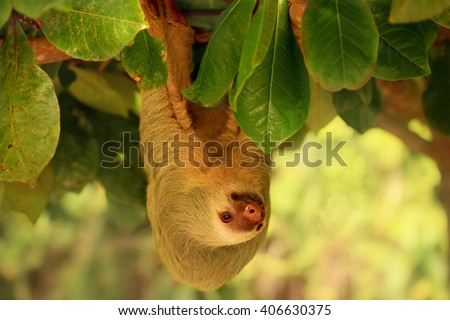Sloth hanging from the tree in Costa Rica. Hoffmann's two-toed sloth (Choloepus hoffmanni) is a species of sloth from Central and South America. - stock photo
