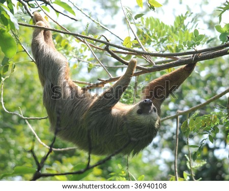 sloth, hothmans two toed male adult climbing in tree, cahuita, caribbean side, costa rica. exotic slow mammal in lush tropical jungle setting