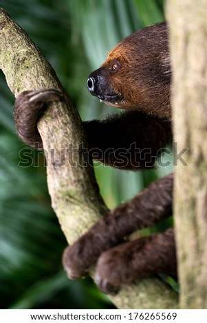Sloth looking peaceful. - stock photo