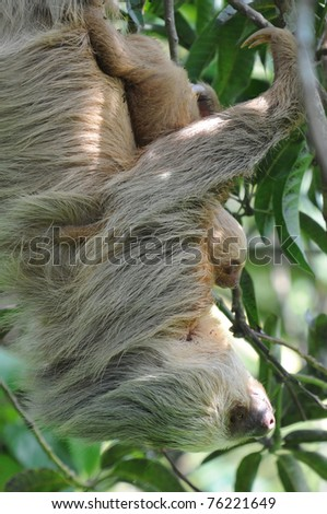 sloth, mother and baby in tree, costa rica, central america - stock photo