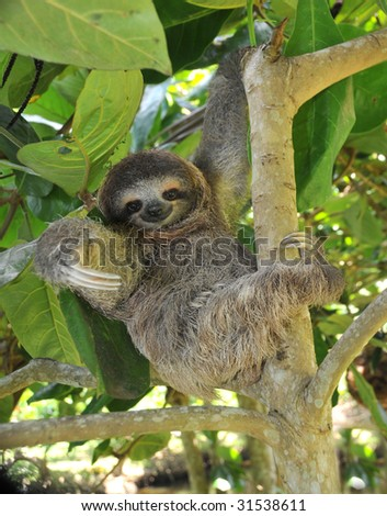 sloth, three toe juvenile or baby in mango tree, cahuita, costa rica , latin america, exotic mammal in tropical jungle - stock photo