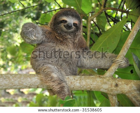 sloth three toe juvenile playful in tree , cahuita, costa rica, central america. unusual exotic mammal in lush tropical jungle - stock photo