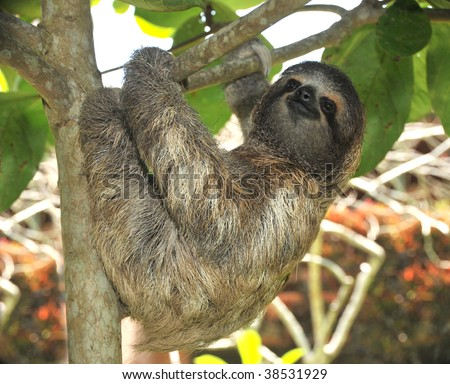 sloth, three toe male juvenile hanging in tree in tropical rainforest jungle, cahuita, costa rica, central america. latin american countries call them osos perezosos which means lazy bear