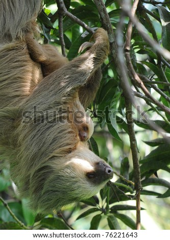 sloth, three toe sloth adult female with baby, cahuita, caribbean side, costa rica, latin america. exotic unusual slow lazy mammal animal mother with infant son daughter in tropical jungle rainforest - stock photo