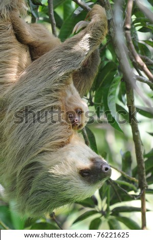 sloth, three toe sloth mother with baby in tree, cahuita, costa rica, latin america - stock photo