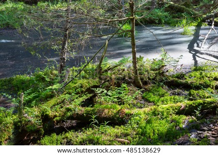 Slow stream flowing and sphagnum moss in foreground in spring,Bialowiea Forest, Poland, Europe