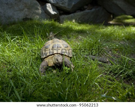 Slow Turtle in the grass - stock photo