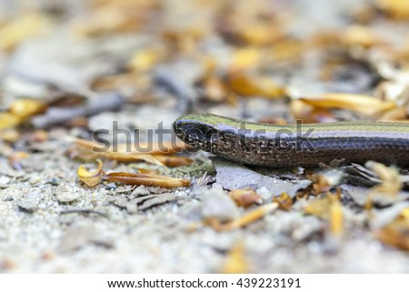 Slow Worm - macro shot