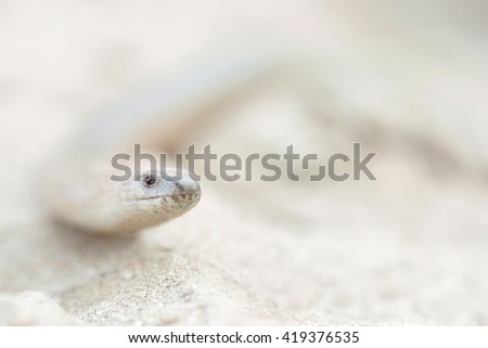 slow worm reptile - stock photo