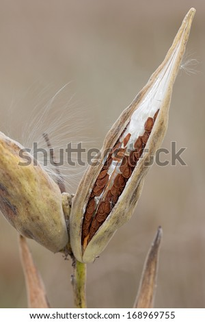 Slowly unzipping, a milkweed pod opens its seeds to the prairie. The seeds, with their leathery pouch and silky hair, line themselves inside the pod ready to float into the meadow. - stock photo