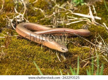 Slowworm (Anguis fragilis), Legless Lizard, on Green Moss in Natural Habitat - stock photo