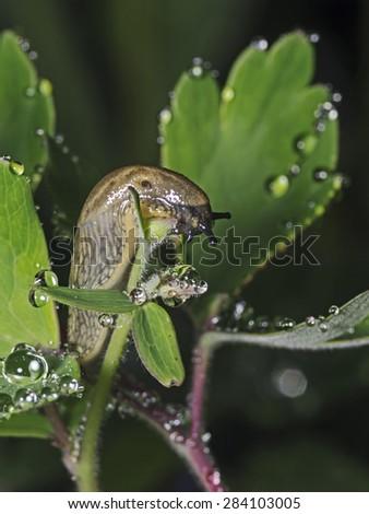 Slug on wet plant leafs, Rossschnecke auf tropfnassen Blättern - stock photo