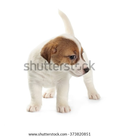 Sly Jack Russell Terrier puppy isolated on white background. Front view, standing, playing.