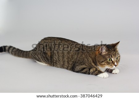 Small adult greeneyed tabby cat isolated on grey - stock photo