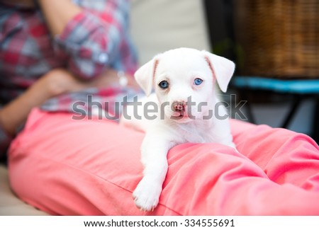 Small All White Terrier Mix Puppy with Blue Eyes Relaxing on Woman's Lap - stock photo