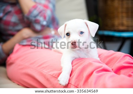 Small All White Terrier Mix Puppy with Blue Eyes Relaxing on Woman's Lap