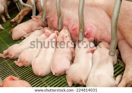 Small and funny pink piglet in a pigpen - stock photo