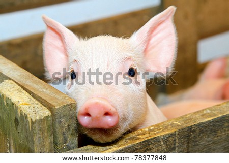 Small and funny pink piglet in pen - stock photo