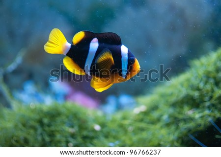 Small anemonefish in the aquarium - stock photo
