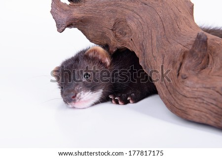 small animal rodent ferret on a white background. sharpening his teeth on a wooden snag - stock photo