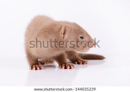 small animal rodent mink on a white background - stock photo