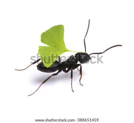 Small ant carrying green leaf, isolated on white.