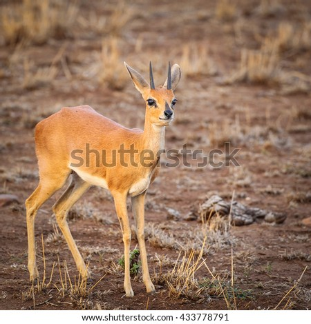 Small antelope walking dry ground at sunset, South Africa